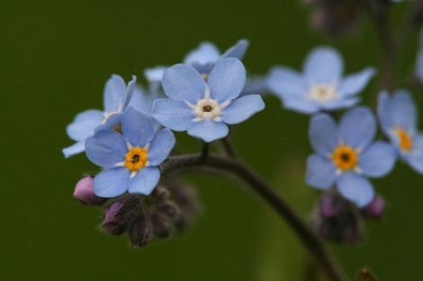 forget-me-not-flower-10