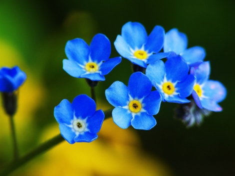 Forget-me-nots1