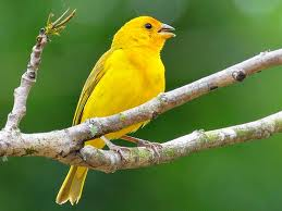 yellow bird1