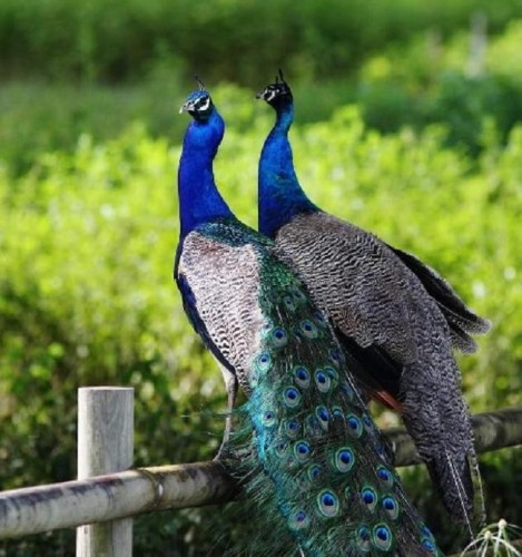 male-and-female-peacock