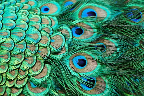 peacock-feather