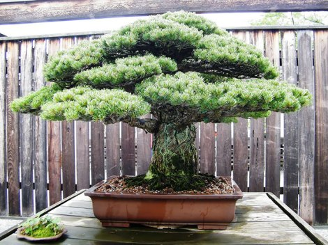 amazing-bonsai-trees-23-5710f40da1982__700
