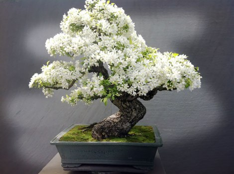 amazing-bonsai-trees-5-1-5710e79582acc__700