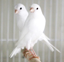 white-canaries