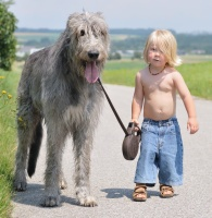 khuyen7_irish-wolfhound