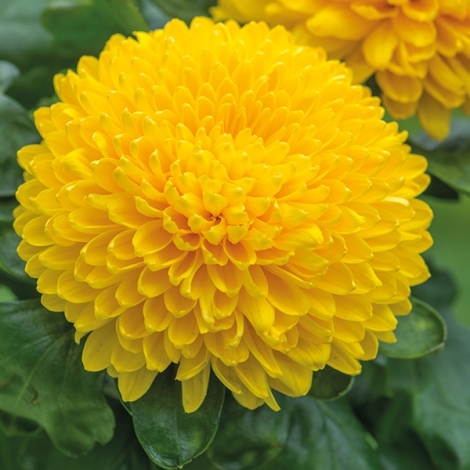 Chrysanthemum 'Migoli Yellow'