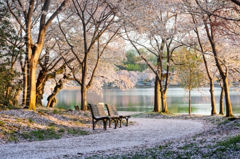 Cherry Blossom Benches